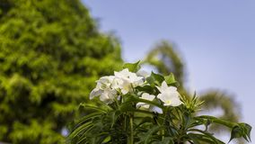 Το Plumeria Frangipani, Champa, Amapola, και δέντρο ναών είναι άλλο όνομα Στοκ εικόνα με δικαίωμα ελεύθερης χρήσης
