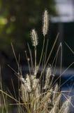Το Poaceae ή η αληθινή χλόη στο μαύρο υπόβαθρο για το διάστημα αντιγράφων Στοκ φωτογραφία με δικαίωμα ελεύθερης χρήσης