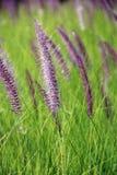 Το Poaceae Στοκ εικόνα με δικαίωμα ελεύθερης χρήσης