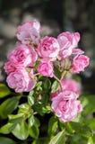 Το Polyantha αυξήθηκε ` η νεράιδα ` Μικρά ρόδινα λουλούδια κήπων εξοχικών σπιτιών Στοκ φωτογραφίες με δικαίωμα ελεύθερης χρήσης