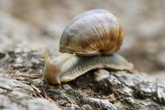 Το pomatia ελίκων, κοινά ονόματα το Burgundy σαλιγκάρι, ρωμαϊκό σαλιγκάρι, εδώδιμο σαλιγκάρι ή escargot Στοκ φωτογραφία με δικαίωμα ελεύθερης χρήσης