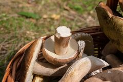 Το Porcini ξεφυτρώνει Boletus edulis, CEP, κουλούρι πενών, porcino ή ki Στοκ φωτογραφία με δικαίωμα ελεύθερης χρήσης