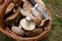Το Porcini ξεφυτρώνει Boletus edulis, CEP, κουλούρι πενών, porcino ή ki Στοκ Φωτογραφίες