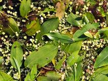 Το Potamogeton natans ή πλατύφυλλος, Στοκ εικόνες με δικαίωμα ελεύθερης χρήσης