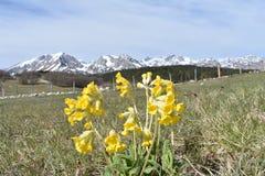 Το primrose λουλούδι και το βουνό Durmitor στο υπόβαθρο στοκ φωτογραφία με δικαίωμα ελεύθερης χρήσης