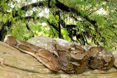 Το Pythons βάζει κατσαρωμένος επάνω σε ένα δέντρο στοκ φωτογραφίες