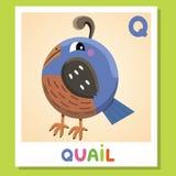 Το Q είναι για τα ορτύκια Γράμμα Q Ορτύκια, χαριτωμένη απεικόνιση διανυσματικό λευκό εικόνων ανασκόπησης αλφάβητου ζωικό Στοκ εικόνα με δικαίωμα ελεύθερης χρήσης