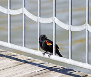 Το red-winged αρσενικό κοτσύφων Στοκ εικόνες με δικαίωμα ελεύθερης χρήσης