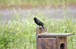 Το Red-winged πουλί κοτσύφων εσκαρφάλωσε στο κιβώτιο φωλιών παπιών, κομητεία Γεωργία ΗΠΑ Walton Στοκ Φωτογραφία