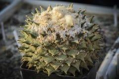 Το retusus Ariocarpus κάκτων σε ένα δοχείο, τριάντα χρονών φυτεύει στο μουτζουρωμένο κλίμα Στοκ Φωτογραφίες