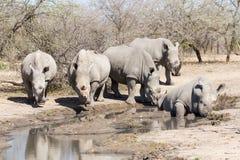 Το Rhinocerous πέντε Στοκ φωτογραφία με δικαίωμα ελεύθερης χρήσης