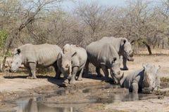 Το Rhinocerous πέντε Στοκ Εικόνες