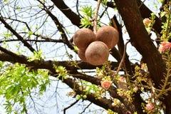 Το robusta sakhua Shorea ή το δέντρο shala, είναι ένα είδος δέντρου που ανήκει στην οικογένεια Dipterocarpaceae στοκ εικόνες