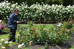 Το Rose Garden του Βορρά NZL Palmerston Στοκ Φωτογραφίες