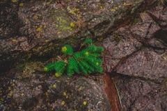 Το rosea Rhodiola φυτεύει υπαίθρια το πράσινο υπόβαθρο στοκ φωτογραφία με δικαίωμα ελεύθερης χρήσης