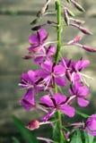 Το Rosebay willowherb ή το angustifolium Chamerion Στοκ Εικόνες