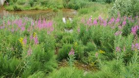 Το Rosebay willowherb αυξάνεται στην ακτή της λίμνης Πρώτες ύλες για την παραγωγή του ιτιά-τσαγιού ή του ivan τσαγιού στις άγρια  στοκ εικόνα με δικαίωμα ελεύθερης χρήσης