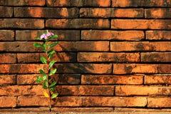 Το roseus Catharanthus μεγαλώνει μεταξύ της κόκκινης ελπίδας τούβλων και του γενναίου κοβαλτίου Στοκ εικόνες με δικαίωμα ελεύθερης χρήσης