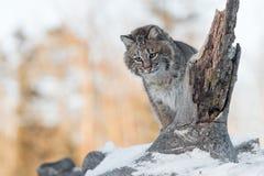 Το rufus λυγξ Bobcat κοιτάζει κάτω από το χιονώδες κούτσουρο Στοκ Φωτογραφία