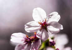 Το Sakura Στοκ Φωτογραφία