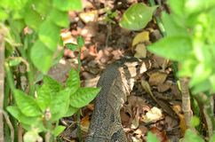 Το salvator Varanus είναι ερπετά και amphibiansin ζωντανά στο δάσος στοκ φωτογραφίες με δικαίωμα ελεύθερης χρήσης