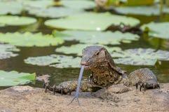 Το salvator Varanus οργάνων ελέγχου νερού είναι μια μεγάλη σαύρα εγγενής στη Νότια Ασία και τη Νοτιοανατολική Ασία, Ταϊλάνδη στοκ εικόνα