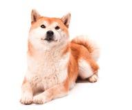 Το Shiba Inu κάθεται σε ένα άσπρο υπόβαθρο Στοκ Φωτογραφίες