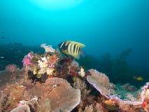 Το Sixbar angelfish αιωρείται πέρα από το σκόπελο σε Raja Ampat, Ινδονησία Στοκ Φωτογραφίες