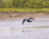 Το Snakebird πετά μακριά Στοκ Εικόνες