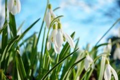 Το Snowdrop ανθίζει τα άνθη την πρώιμη άνοιξη Στοκ εικόνες με δικαίωμα ελεύθερης χρήσης