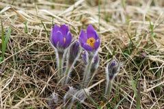 Το Snowdrop διακινδύνεψε τα τρυφερά πρώτα λουλούδια Μαρτίου άνοιξη, κινηματογράφηση σε πρώτο πλάνο Στοκ εικόνα με δικαίωμα ελεύθερης χρήσης
