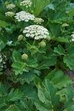 Το Sosnowsky (sosnowskyi Heracleum) είναι ένα ανθίζοντας φυτό στην οικογένεια Apiaceae Στοκ Φωτογραφία