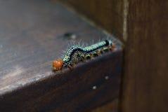 Το Spiked Caterpillar στην εστίαση Στοκ Εικόνες