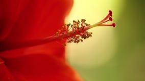 Το Stamen hibiscus ανθίζει το μακρο στατικό bokeh απόθεμα βίντεο