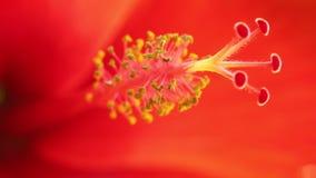 Το Stamen Hibiscus ανθίζει τη μακροεντολή στατική απόθεμα βίντεο