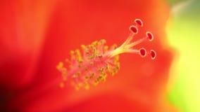 Το Stamen hibiscus ανθίζει τις μακρο στενές επάνω εγκαταστάσεις απόθεμα βίντεο