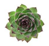 Το succulent sempervivum κινηματογραφήσεων σε πρώτο πλάνο που απομονώνεται στο λευκό, άλλα ονόματα είναι houseleeks, liveforever  Στοκ Εικόνα