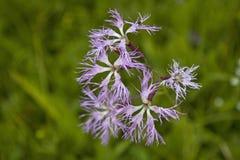 Το superbus Dianthus δένει το λιβάδι Στοκ εικόνα με δικαίωμα ελεύθερης χρήσης