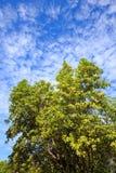 Το Tembusu ανθίζει bloomig στο δέντρο , Fagraea fragrans Στοκ Εικόνες