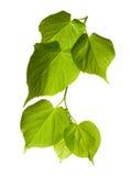 Το tilia άνοιξη βγάζει φύλλα στοκ εικόνες με δικαίωμα ελεύθερης χρήσης