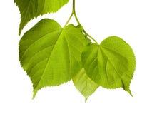 Το tilia άνοιξη βγάζει φύλλα στοκ εικόνες