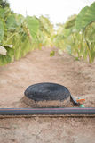 Το Tora φυτεύει το αγρόκτημα με τη μάνικα νερού βάζει στο έδαφος Στοκ Εικόνες