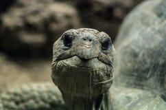 Το Tortoise κοιτάζει επίμονα στη κάμερα Στοκ εικόνες με δικαίωμα ελεύθερης χρήσης