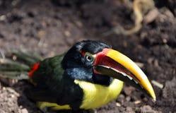 Το Toucan πράσινο Aracari παρουσιάζει μακρύ λογαριασμό Στοκ φωτογραφία με δικαίωμα ελεύθερης χρήσης