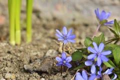 Το transsilvanica Liverleaf Anemone στον κήπο Στοκ εικόνα με δικαίωμα ελεύθερης χρήσης