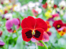 Το tricolor κόκκινο μπλε κίτρινο Pansies Viola σε πράσινο η μακρο κινηματογράφηση σε πρώτο πλάνο στοκ εικόνα
