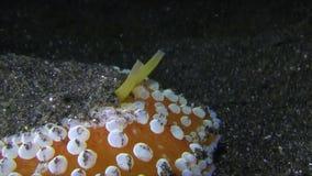 Το umbraculum Umbraculum είναι κοχύλι ομπρελών με το βεντούζα-όπως κοχύλι και βράγχια που τοποθετούνται στη τοπ πλευρά του στενού φιλμ μικρού μήκους