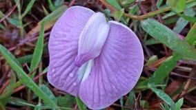 Το virgatus Desmanthus είναι ένα είδος ανθίζοντας φυτού στην οικογένεια οσπρίων που είναι γνωστή από πολλά κοινά ονόματα Στοκ εικόνες με δικαίωμα ελεύθερης χρήσης