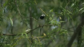 Το Wagtail κάθεται σε έναν κλάδο δέντρων φιλμ μικρού μήκους