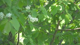 Το Wagtail κάθεται σε έναν κλάδο δέντρων απόθεμα βίντεο